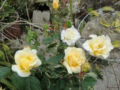 Yellow Roses-Colonia Tovar-Garden Flowers