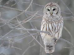 Grey owl in a tree