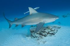 Bull sharks are known for the most likely shark to attack a human. This is due to their aggressiveness. Also humans swim in the bull sharks' habitat. Bull sharks live in shallow, tropical waters- places humans love to swim. They do not enjoy humans and usually attack inadvertently or out of curiosity.