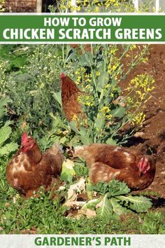 Did you know that your chickens will lay tastier and more nutritious eggs if you provide them with fresh greens? Learn how vitamin-packed fodder and sprouts can benefit your birds, keeping them happy and healthy and providing you with delicious eggs. Read more now on Gardener's Path. #chickencare #gardenerspath Raising Quail, Raising Ducks, Raising Chickens, Chicken Feed, Diy Chicken Coop, Chicken Scratch, Urban Chickens, Keeping Chickens, Chickens Backyard