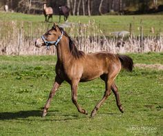 Classic Champagne Rocky Mountain filly, 9 month. FHR Belle's Wild Flower