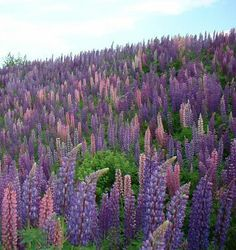 maine's wild flowers | Lupines... my favorite Maine wildflowers!