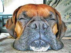 Boxer Dog Photo Gallery & Postcard - Mug_Shot_S_