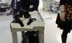 Tuxedo Cat Travels on His Royal Cart to Bring Joy and Hope to Critically Ill Patients