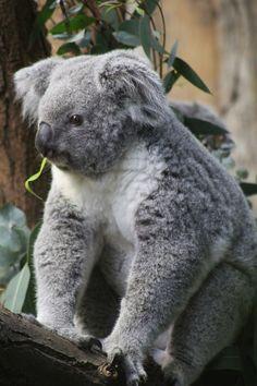 Koala Bears, Wombat, Bruce Springsteen, Extinct, Cute Funny Animals, Elvis Presley, Pet Birds, Reptiles, Cute Puppies