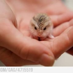 Baby hamster.  Lots of pins say this is a baby owl but take a close look at the paws (there are 4, with tiny toes)