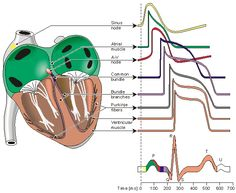 Electrophysiology - what the EKG looks like depending on what part of the heart is depolarizing/repolarizing.