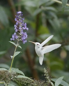 Albino Ruby-throated Hummingbird By Kevin Shank