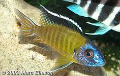 Nice collection of original photos and info on over 80 different species from Lakes Malawi, Victoria, and Tanganyika. DOZENS of articles: Pics and explanation of cichlid breeding behavior, unique tank setup and much more! Cichlid Aquarium, Big Aquarium, Cichlid Fish, Aquarium Fish Tank, Malawi Cichlids, African Cichlids, Plecostomus, Lake Tanganyika, Fish Tales