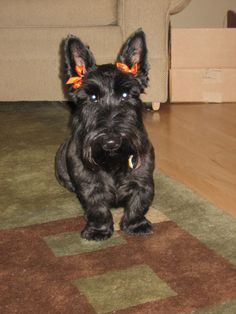 Scottie dog with bows in her hair.