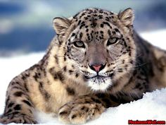 The track of snow leopard was captured in Huangnan Tibetan Autonomous Prefecture in Qinghai Province between Dec. 20 and The number of snow leopard, one of China's endangered spiecies, is l… Tier Wallpaper, Cat Wallpaper, Animal Wallpaper, Wallpaper Gratis, Wallpaper Gallery, Widescreen Wallpaper, Wallpaper Downloads, Live Wallpapers, Snow Leopard Facts