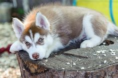 Siberian Husky....one year this will be under the Christmas tree for me!