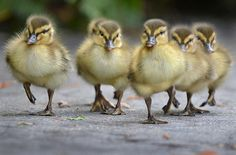Baby ducklings with attitude take to the streets at the San Diego Zoo.