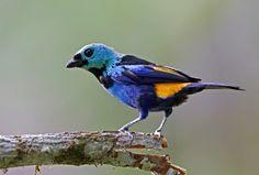 Na lista das aves mais bonitas do Brasil, este é o Pintor-verdadeiro (Tangara fastuosa).  Fotografia: Ciro Albano.  http://viajeaqui.abril.com.br/national-geographic/blog/brasil-das-aves/a-ave-mais-bonita-do-brasil/2012/08/25/?utm_source=redesabril_viagem&utm_medium=twitter&utm_campaign=redesabril_ngbrasil