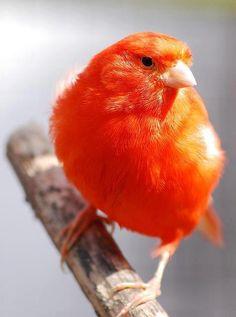 fairy-wren: red canary (photo by melsonbyuk) Pretty Birds, Love Birds, Beautiful Birds, Beautiful Things, Exotic Birds, Colorful Birds, Orange Bird, Orange Color, Canary Birds
