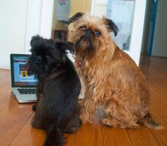 Brussels Griffons!! Digby and Alo van winkle