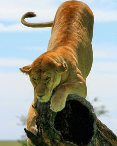 . Lone Lioness . Photography by @ (Liam D).