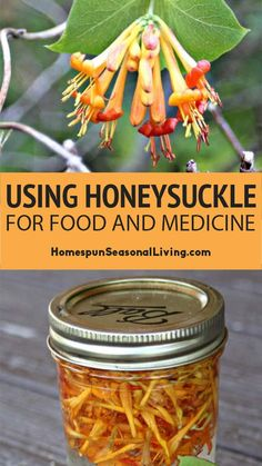 Honeysuckle is a beautiful, edible, and healing wildflower. For many of us, honeysuckle may be one of the first foraged foods if only as drinking the nectar. # Using Honeysuckle for Food and Medicine Natural Health Remedies, Natural Cures, Natural Healing, Herbal Remedies, Natural Foods, Natural Oil, Natural Sleep, Holistic Remedies, Natural Treatments