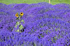 Always love the sunflowers or red poppies in fields of lavender...