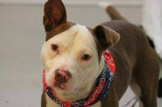 ADOPTED>NAME: Clyde  ANIMAL ID: 29944218 BREED: Pit mix  SEX: male (neutered)  EST. AGE:3 yr  Est Weight: 48 lbs  Health: heartworm neg  Temperament: dog friendly, people friendly.  ADDITIONAL INFO: RESCUE PULL FEE: $35  Intake date: 4/18  Available: 4/24