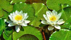 Renatures.com - Lilies Water Flower Nature Flowers Amazing Desktop Wallpapers