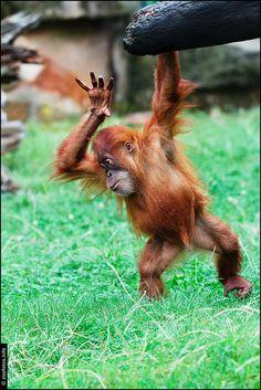 Orangutan @Zeinoun Kawwass Dresden by Einsiedler., via Flickr