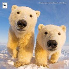¿Sabías que los osos polares pueden oler una foca a casi 1km de distancia? http://panda.org/osopolar #PolarBearWatch