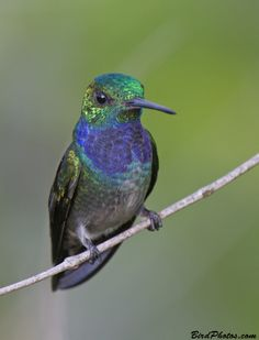 Blue-chested Hummingbird (Amazilia amabilis), male, Colombia, by Tom Friedel
