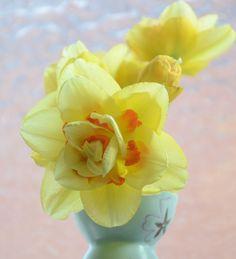 Tonga Daffodils