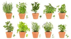 Herb Gardening Guide | Information How To Grow Culinary & Medicinal Herbs