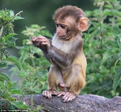 Shock for baby monkey who thought she had discovered a treat