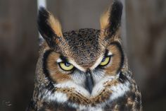 Great horned owl by David Turgeon on 500px