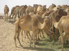 marché de chameaux à Abu Dhabi