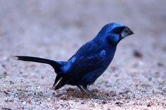 O azulão (Cyanocompsa brissonii) é uma ave passeriforme da família Fringillidae. Também é conhecida pelos nomes de azulão-bicudo, azulão-do-nordeste, azulão-do-sul, azulão-verdadeiro, guarundi-azul, gurandi-azul, gurundi-azul e tiatã