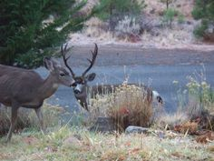 big buck and his girls