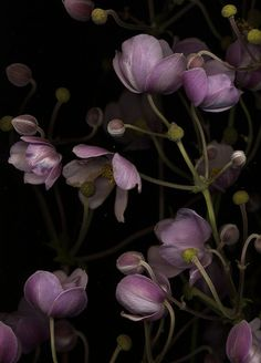 Anemone japonica by horticultural art, via Flickr