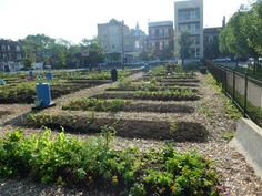 Monarch Community Garden in Chicago. Chicago Master Gardeners provide technical assistance.