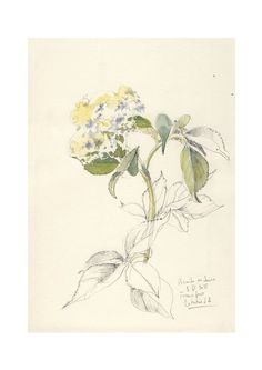 Elder flowers, watercolor and pencil drawing PRINT Botanical art by Catalina.