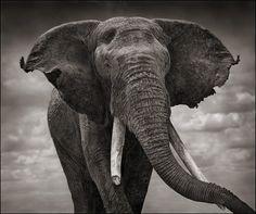 Wildlife Photography by Nick Brandt