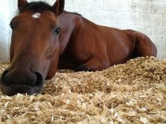 Jockey Emma-Jayne Wilson snapped a photo of one of Stronach Stables' steeds napping quite leisurely at Palm Meadows. River Rush was the winner of last year's Plate Trial Stakes at Woodbine by a dominating 51/4 lengths.