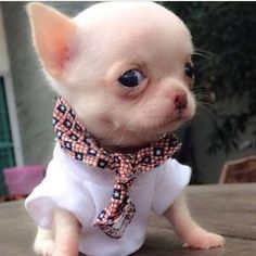 Effective Potty Training Chihuahua Consistency Is Key Ideas. Brilliant Potty Training Chihuahua Consistency Is Key Ideas. Teacup Chihuahua Puppies, Chihuahua Love, Cute Puppies, Cute Dogs, White Chihuahua, Cute Small Dogs, Small Puppies, Pomeranian, Cute Little Animals