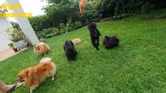Pomeranian Toy Pom puppies and dogs playing with a toy on a string.