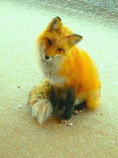surroundedbyallthingsbeautiful:    Dusted fox