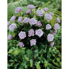 Lavender Sunblaze Rose Tree