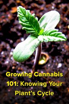 Cannabis Growing 101: Know Your Plant's Life Cycle Medical Marijuana Project Idea: Project Difficulty: Simple www.MaritimeVintage.com