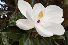 Magnolia Grandiflora  La Magnolia grandiflora 'Gallissoniensis' (magnolia Grandiflora) è una pianta sempreverde, di forma da conica ad arrotondata, questa stupenda selezione della Magnolia grandiflora originaria degli Stati Uniti d'America ha avuto negli ultimi decenni molto successo ed è stata apprezzata da tutto il pubblico europeo per le sue caratteristiche decorative e la sua capacità di adattamento a diversi tipi di condizione e di utilizzo.