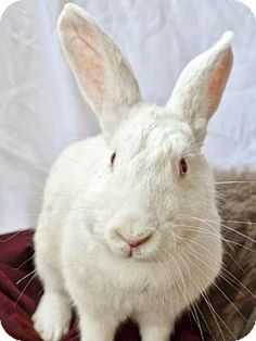 #CALIFORNIA ~ Jelly ID A054043 is a Spayed Bunny Rabbit #urgently in need of a loving #adopter / #rescue at BURBANK ANIMAL SHELTER 1150 North Victory Place #Burbank CA 91502 Ph 818-238-3340