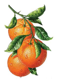 Fruit watercolor illustration behance 54 New ideas Watercolor Fruit, Fruit Painting, Watercolor Paintings, L'art Du Fruit, Fruit Art, Botanical Drawings, Botanical Prints, Illustration Botanique, Fruit Illustration