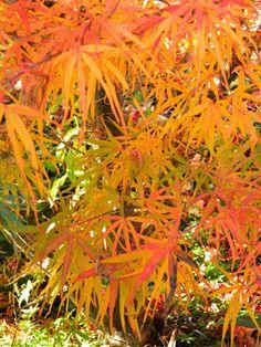 "Acer palmatum ""Linearlobum"" Japanese maple fall foliage at Toronto Botanical Garden by garden muses-not another Toronto gardening blog"