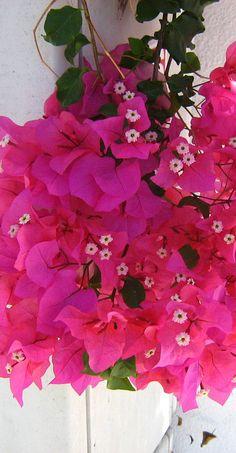 ✿Bougainvillea (Bougainvillea spectabilis): Passion ✿九重葛: 熱情